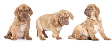 Three French Mastiff puppies Stock Images