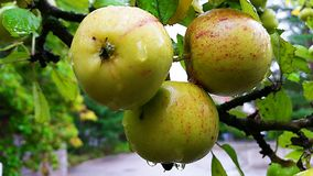 Three fresh apples ready for eating. royalty free stock photography