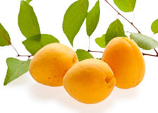 Three fresh apricots and green branch. Set of ripe apricots and leafage isolated on white Royalty Free Stock Image