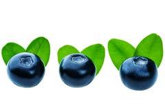 Three fresh blueberries isolated Stock Photo