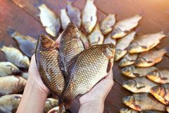 Three are fresh caught river fishes in hands. . Caught carp fish on wood. Catching freshwater fish on wood background. A royalty free stock photo