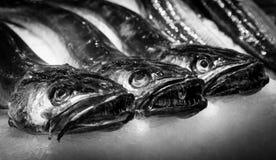 Fresh Fish, Hake at the fish market. Three fresh hake waiting to be sold at a fish market Royalty Free Stock Images
