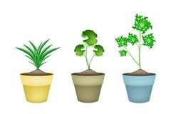 Three Fresh Herbal Plant in Ceramic Flower Pots Stock Photography