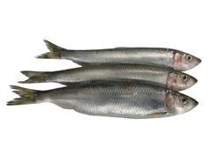 Three fresh herrings Stock Image