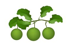 Three Fresh Limes Hanging on A Tree Royalty Free Stock Images