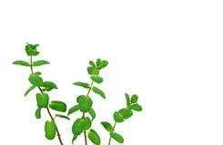 Three fresh mint branches Stock Photos