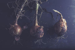 Three fresh onions from the garden, with roots, on dark background. Royalty Free Stock Photography