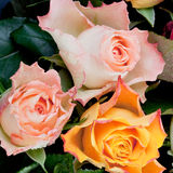 Three fresh roses Stock Photos