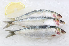Three fresh sardines isolated on ice Royalty Free Stock Image