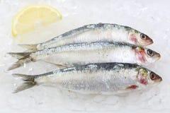 Three fresh sardines isolated on ice Royalty Free Stock Image
