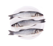 Three fresh seabass fish. Royalty Free Stock Images
