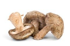 Three fresh shiitake mushrooms Royalty Free Stock Photos