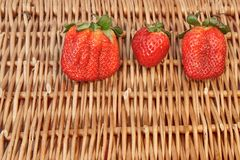 Three Fresh Summer Organic Strawberries Still Life,  Stock Photo