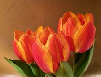 Three fresh tulips in bright orange in front of a brown wall Royalty Free Stock Image