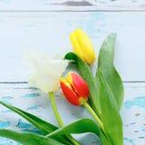 Three fresh tulips, spring flowers Royalty Free Stock Image