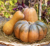 Three fresh whole pumpkins of different shapes Royalty Free Stock Image