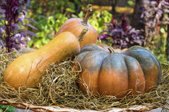 Three fresh whole pumpkins of different shapes Royalty Free Stock Photo