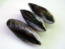 Three Fresh Wild Mussels. Three aligned fresh raw wild mussels on white background Royalty Free Stock Images
