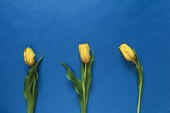 Three fresh yellow tulips Stock Photo