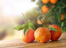 Three freshly picked oranges on a wooden table in field Stock Photos