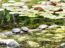 Three freshwater turtles sunning themselves on a log in a pond Royalty Free Stock Images