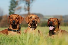 Three friends. Three rhodesian ridgebacks lying in the grass Stock Image