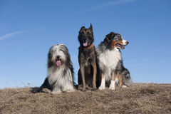 Three friends. Three dogs sitting on a beautiful sunny day on top of the mountain. They are happy together Royalty Free Stock Image
