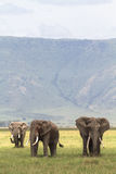 Three friends. Old elefants from crater. Stock Images