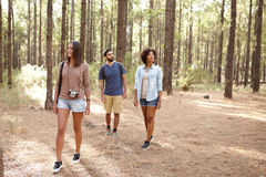 Three friends in a pine plantation. Three friends exploring a pine tree plantation in the afternoon sunshine, looking up while wearing casual clothing Stock Photos