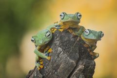 Trio Kwek Kwek. Three frog stay on wood Stock Images