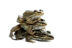 Three frogs. On a white background Royalty Free Stock Images