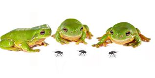 Three frogs and flies. Three and three - three green tree frogs (litoria caerula) on white look at three flies stock photo