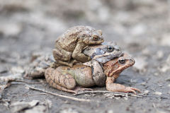 Three frogs Royalty Free Stock Photo