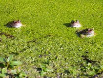 Three frogs Hiding in Duck Weed. Three frogs in a pond hiding underneath a layer of duckweed Royalty Free Stock Photos