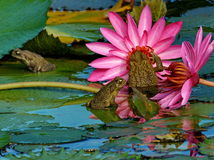 Three frogs on the lotus Stock Photography