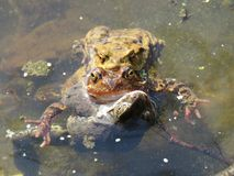 Three frogs during mating season at the beginning of spring royalty free stock photos