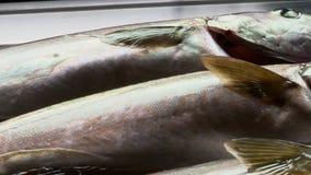 Three frozen fish in plastic container. Handheld, panning, close up shot of three medium sized frozen fish in a plastic container stock video footage