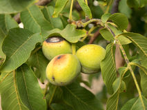 Three fruits of Juglans regia on the branch. Royalty Free Stock Photography