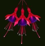 Three Fuchsia Flowers Isolated on Black Stock Photos