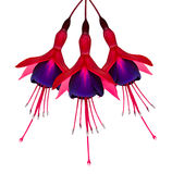 Three Fuchsia Flowers Isolated on White Royalty Free Stock Photography