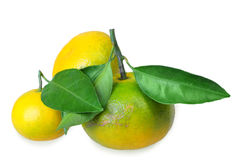 Three full fruit of yellow tangerines with several green leafs royalty free stock photos