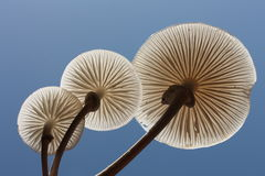 Three fungi. Viewed from low angle against blue sky Royalty Free Stock Images