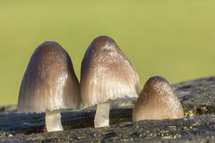 Three Fungi. Growing out of a crack in a log Stock Image