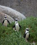 Three funny African penguin Spheniscus demersus on Boulders Beach near Cape Town South Africa walking between green royalty free stock photos