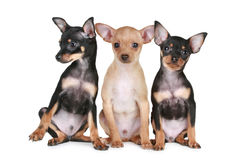 Three funny chihuahua puppy Stock Image
