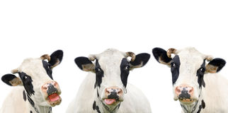 Three funny cow isolated on a white