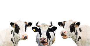 Three funny cow isolated on a white Royalty Free Stock Photo