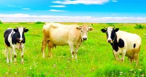 Three funny cows Stock Photo