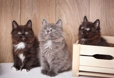 Three funny and cute black Kurilian Bobtail cats are sitting. Purebred cats. Pets. One cat sits in a wooden box. Look up stock photos