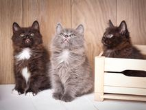 Three funny and cute black Kurilian Bobtail cats are sitting. Purebred cats. Pets. One cat sits in a wooden box. Look up stock images